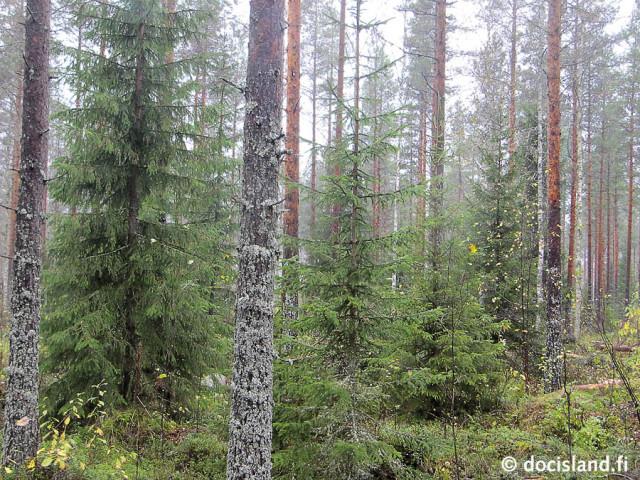 Jatkuva kasvatus - metsä hakkuun jälkeen © Ismo Tuormaa
